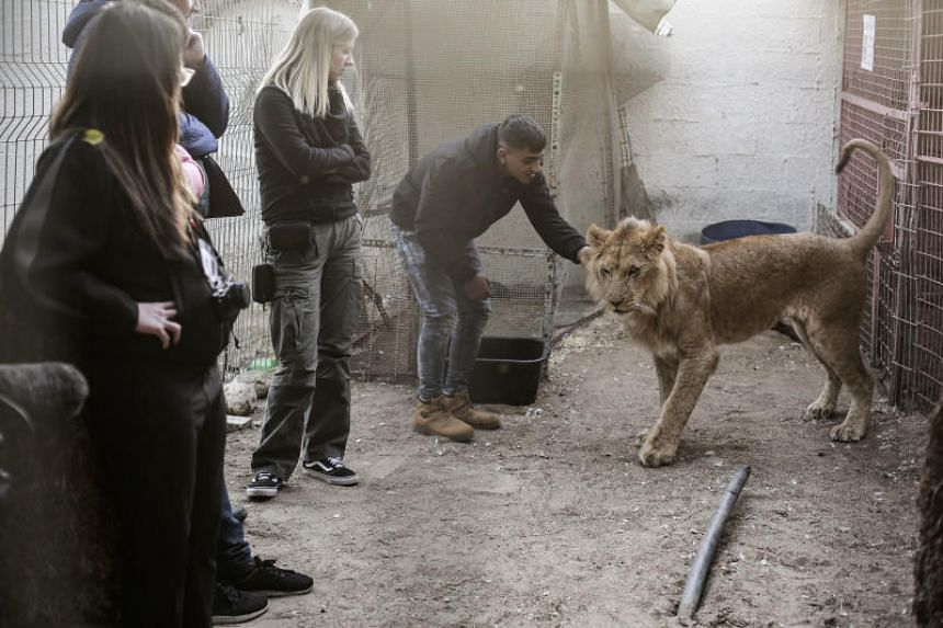 A member of international animal welfare organisation Four Paws tending to a lioness, one of several animals that a zoo in Rafah, southern Gaza, agreed to hand over for transport to a Jordanian reserve.