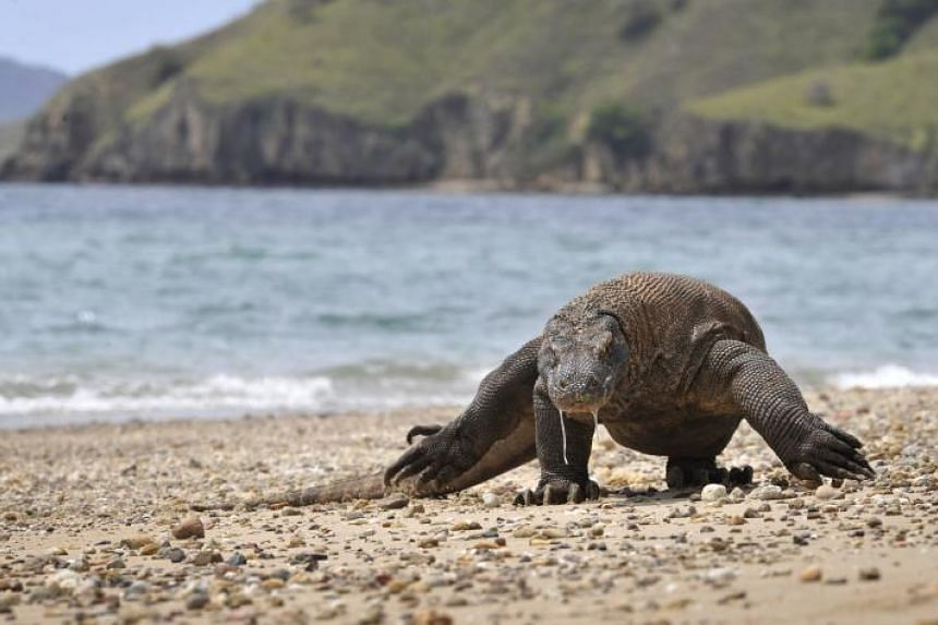 A Komodo dragon searching the shore area of Komodo island for prey. The threat to the Komodo dragon was highlighted after police in East Java foiled an attempt to smuggle 41 Komodo dragons.