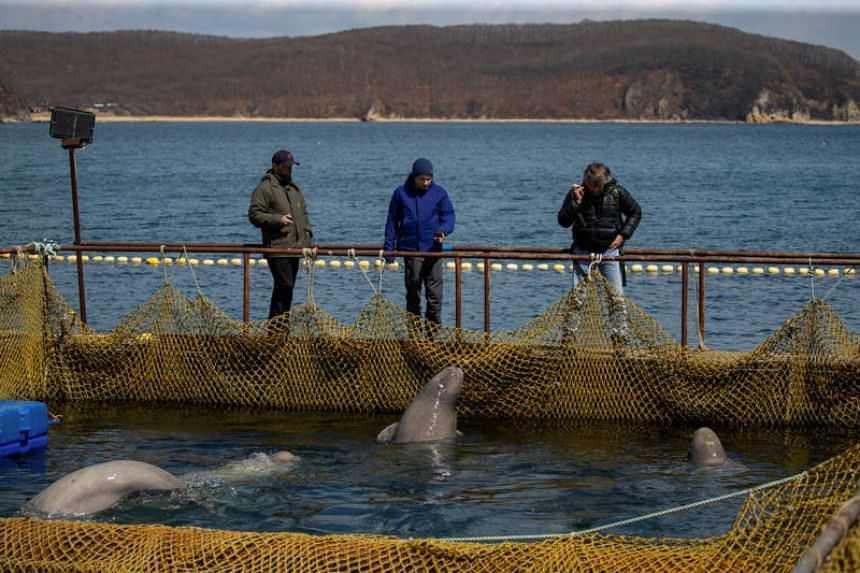 """Nearly 100 whales captured for sale to aquariums have been kept in small pens for months in what the media has nicknamed a """"whale jail"""" in the Russian Far East."""