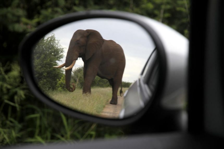An elephant in Kruger National Park in South Africa, on Feb 13, 2014. A man suspected of being a rhino poacher was killed in April 2019 by an elephant and his remains were devoured by a pride of lions at the park, officials said.