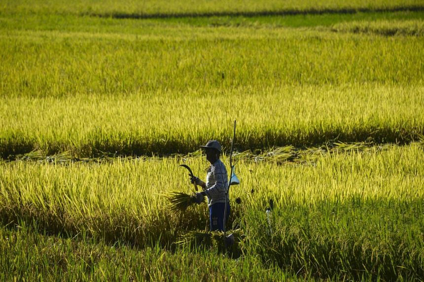 A farmer cutting rice in a paddy field in Blang Bintang, Banda Aceh, Indonesia, on April 2, 2019.