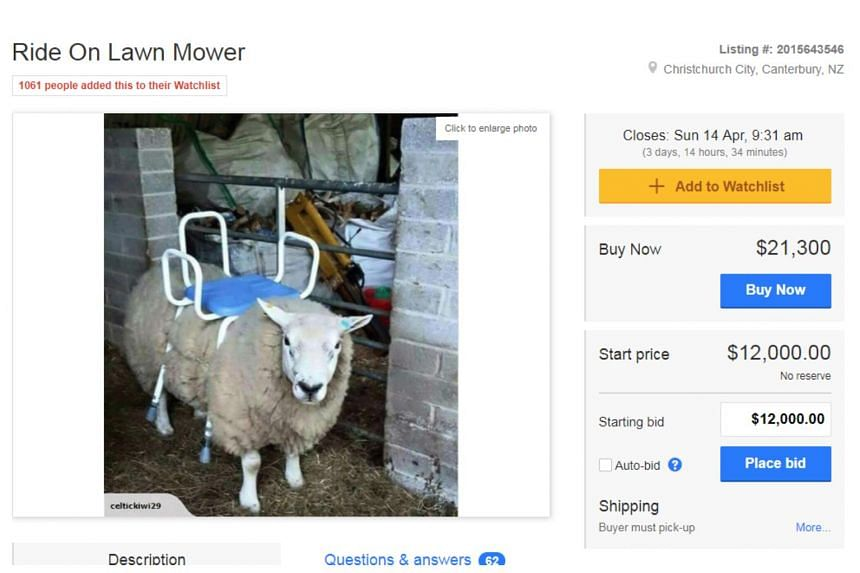 """The Christchurch seller with the handle Celtickiwi29 published a photo of a clueless looking ewe with a chair on its back, advertised as a """"ride on lawn mower, barely used, good condition""""."""