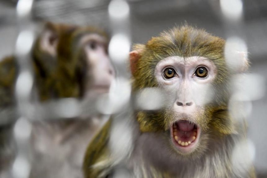 A Rhesus macaque, part of the 11 rescued monkeys from research laboratories, looks on from a quarantine room in Nogent-le-Phaye near Chartres, on March 13, 2019.