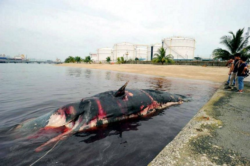 Female sperm whale Jubi Lee was found dead on July 10, 2015, floating off Jurong Island with a gash in her back.