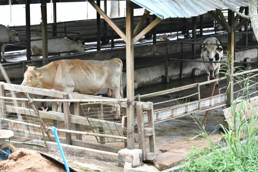 Ganesha the bull escaped from an enclosure at Viknesh Dairy Farm (above) on April 10, 2019.