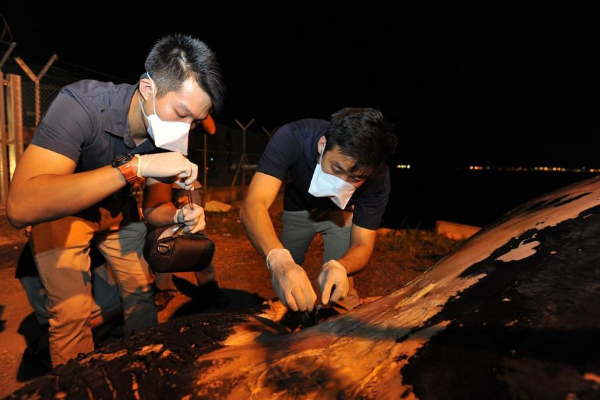 Mr Marcus Chua, (right) curator of mammals and birds at Lee Kong Chian Natural History Museum, and Mr Foo Maosheng, scientific officer, collecting tissue samples for analysis, on July 10, 2015.