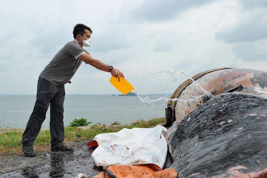 Mr Foo Maosheng pouring seawater on the retrieved carcass of the sperm whale to deter flies from laying eggs, on July 11 2015.