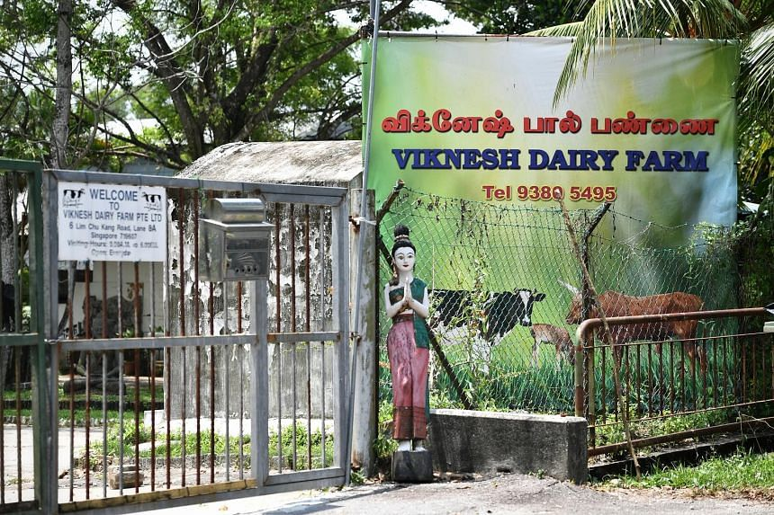The owner of Viknesh Dairy Farm, Mr Manikandan, believes Ganesha, the two-year-old bull, will return to the farm eventually. The black-and-white animal was reported to have escaped from its pen on Tuesday. ST FILE PHOTO