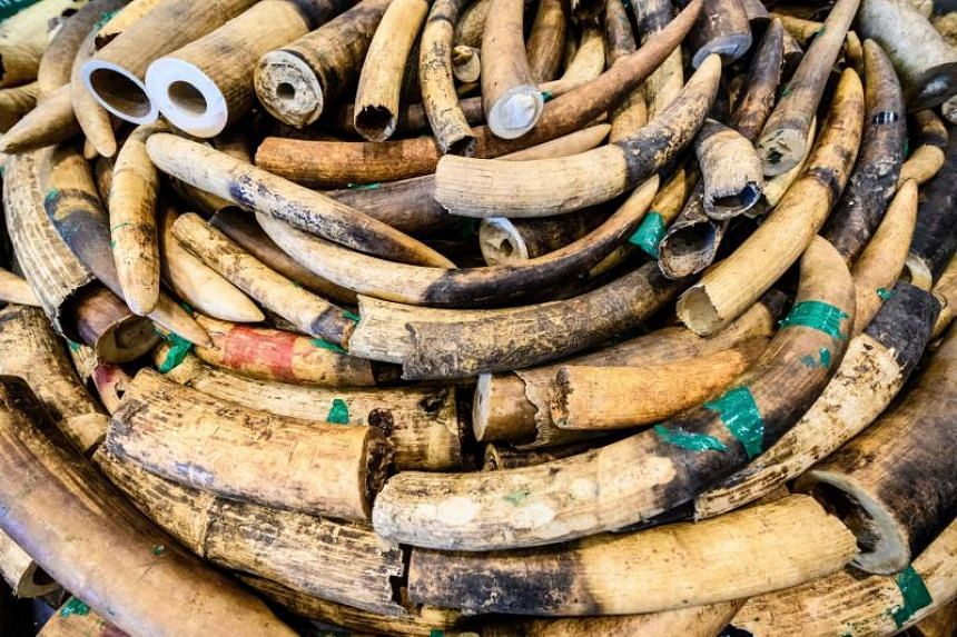 Seized ivory elephant tusks at the Kwai Chung Customhouse Cargo Examination Compound in Hong Kong, on Feb 1, 2019.