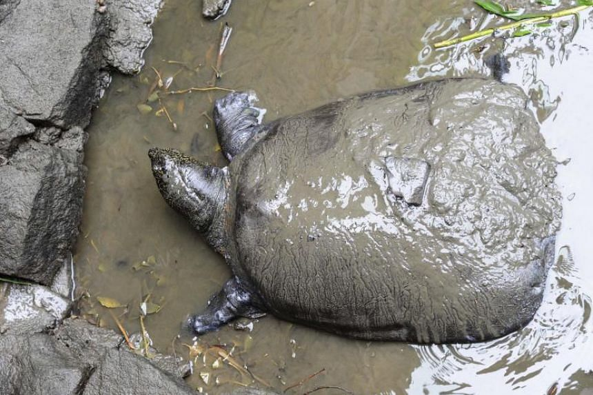 A female Yangtze giant softshell turtle at Suzhou Zoo on May 6, 2015. Conservations say there are now only three known members of the species left.