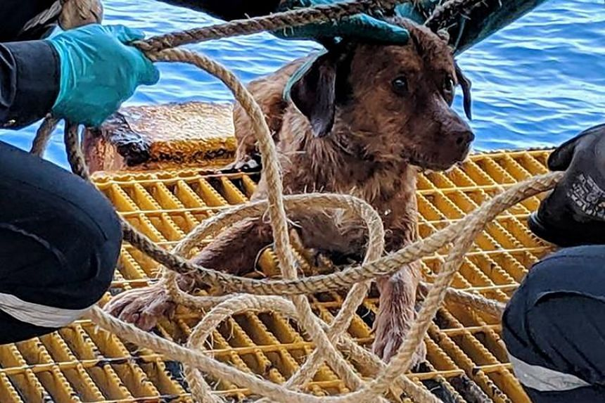 """The tan-coloured dog, named Boonrod by his rescuers - Thai for """"survivor from karma"""" - was fished from the ocean on April 12, 2019, by rig workers who spotted his head bobbing between the waves in the Gulf of Thailand."""