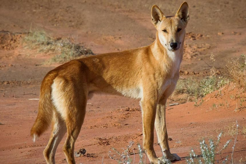 Authorities have warned visitors in the past that dingoes are wild animals and need to be treated with caution.