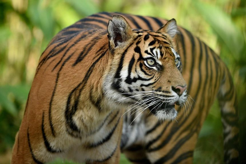 Tiger attacks Kansas zoo worker after 'error' brings two together