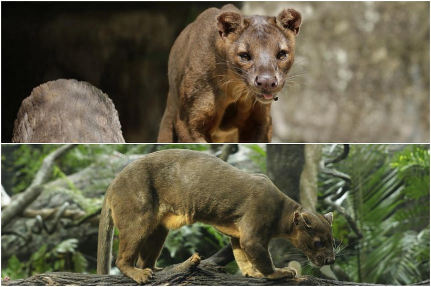 The fossa has a cat-like head, short, dog-like muzzle and ears, coupled with a slender body and muscular limbs, and the species is famously portrayed as the ruthless and not-so-bright antagonists in the animated movie Madagascar.