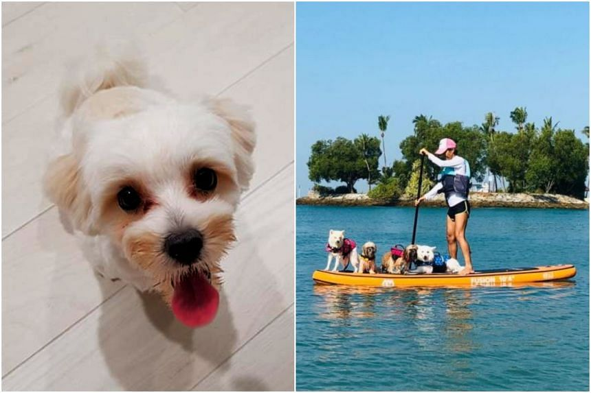 Garfield, which had joined the daycare in February, was taken swimming at Tanjong Beach on Sentosa with 16 other dogs, under the care of seven handlers from Board N' Play.