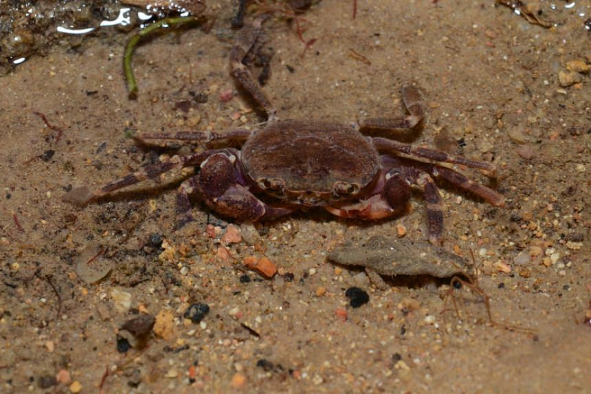 Johora singaporensis, or the Singapore freshwater crab, which has been identified for species recovery efforts.