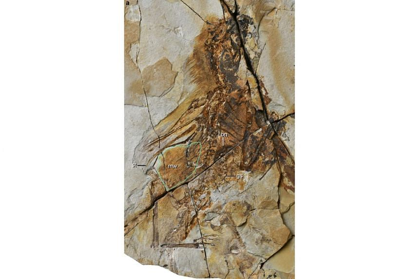 The well-preserved fossil, discovered in north-east China's Liaoning province, dates back 163 million years.