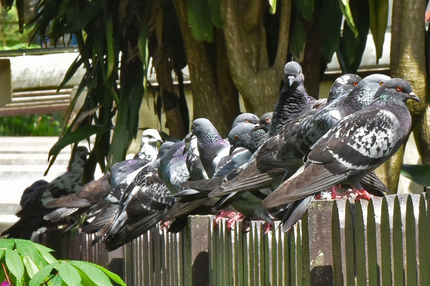 The National Parks Board conducts surveillance at pigeon-feeding hot spots, says Senior Parliamentary Secretary for National Development Sun Xueling.