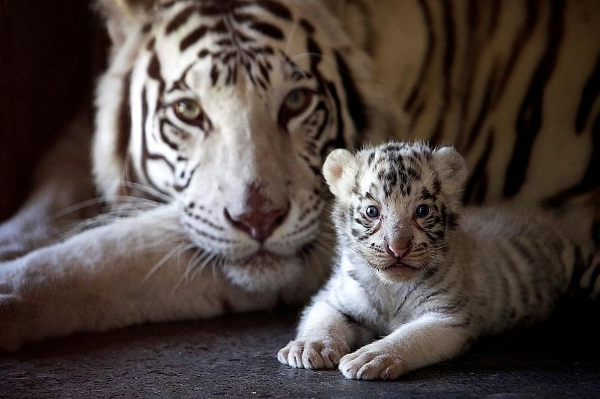 A white Bengal tiger cub with its mother in a Mexico zoo.