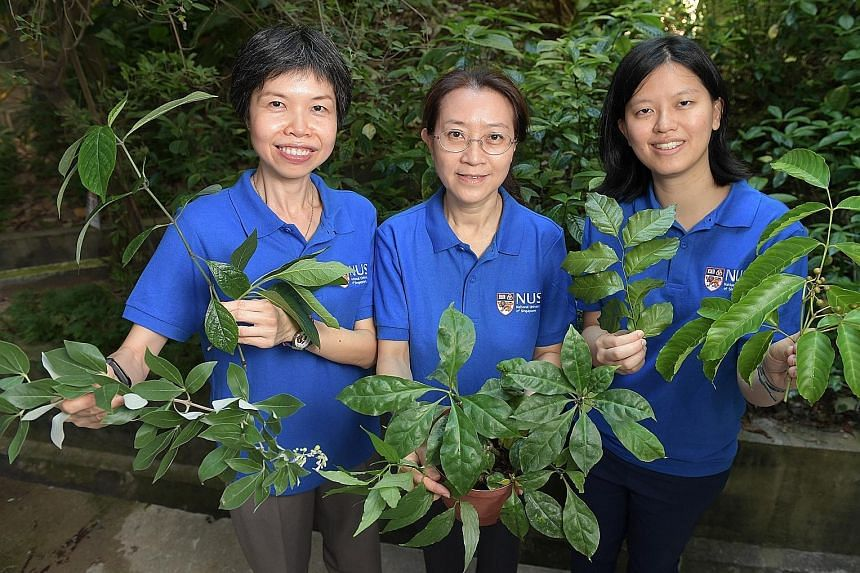 NUS researchers (from left) Neo Soek Ying, Koh Hwee Ling and Siew Yin Yin - part of the team behind the new study - with some medicinal plants. The study found that leaf extracts taken from herbs used in regional folk medicine were effective in stopp