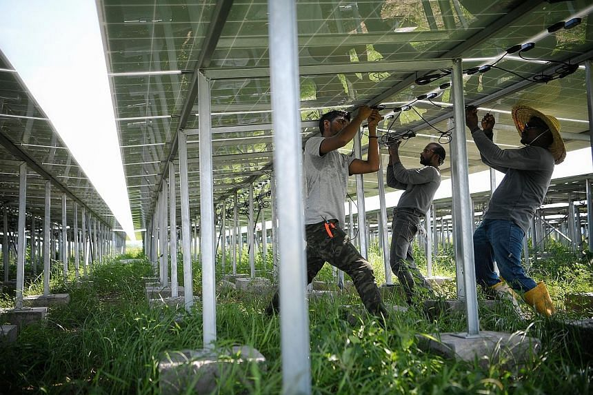 These rows and rows of solar panels, some of which are being adjusted by workers, on Semakau Island help to power a deep-sea fish farm there running on 100 per cent clean energy. They are part of the Renewable Energy Integration Demonstrator-Singapor