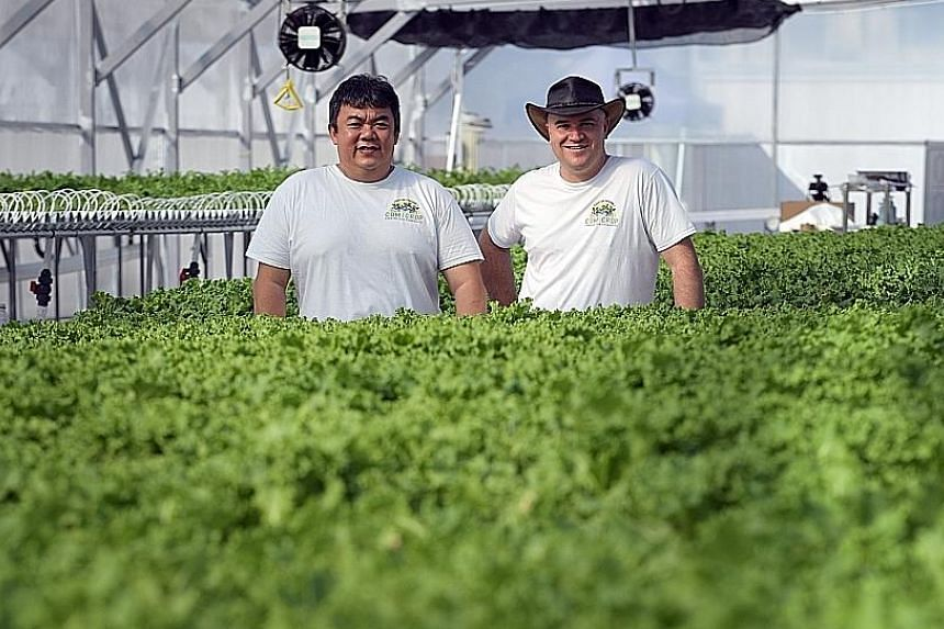 Comcrop founders Allan Lim (left) and Peter Barber at their rooftop greenhouse on a Woodlands industrial building, where they grow a variety of lettuce as well as Asian greens such as chye sim and pak choy.