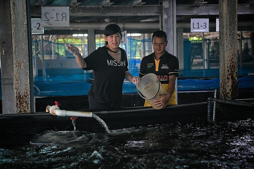 Reporter Cheryl Teh helps Apollo Aquaculture employee Tham Ye Da (top) in the lab and aquaculturist Mohamed Alamin feed hybrid groupers. ST PHOTOS: MARK CHEONG
