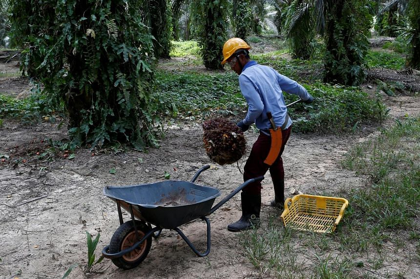 A worker collecting oil palm fruits at a plantation in Bahau, Negeri Sembilan. With Malaysia committed to stop expanding plantations because of intensifying global scrutiny over deforestation, Sime Darby - the industry's largest grower by acreage - h