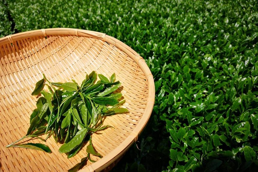 Every year, between end-April and early May, the tea is harvested for the first time to make green tea.