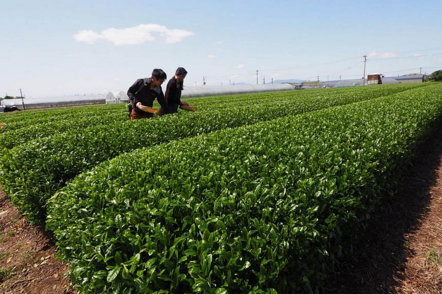 Located just an hour's drive south from central Fukuoka, the region is synonymous with acres of tea plantations that stretch for miles as far as the eye can see.