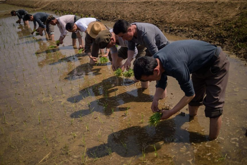 People take part in an annual rice planting event in Nampho City in Chongsan-ri, near Nampho on May 12, 2019.