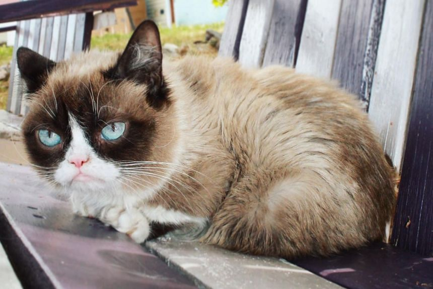 Grumpy Cat has appeared on television shows like Today, Good Morning America and American Idol.