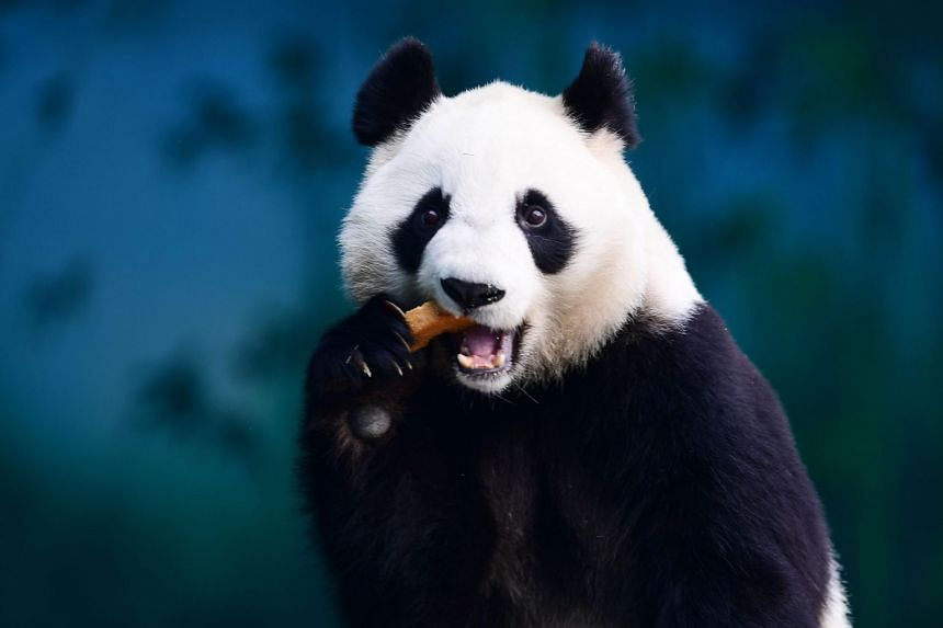 At least 10 billion yuan (S$2 billion) had been budgeted for the Giant Panda National Park in mountainous south-western China for the nation's favourite creature, China Daily reported.
