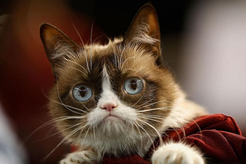 Grumpy Cat, whose permanent scowl made her an Internet celebrity and inspired numerous memes, pictured in 2015. The feline, whose actual name is Tardar Sauce and hailed from Arizona, died on Tuesday after complications arose from a urinary tract infe