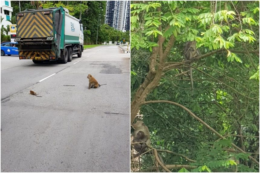 The incident occurred near the Bukit Timah Nature Reserve, where monkeys such as the long-tailed macaques are frequently sighted.