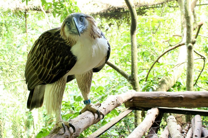 The two Philippine eagles – a 15-year-old male named Geothermica and a 17-year female named Sambisig (above) – are set to be airlifted to Singapore on June 4, 2019.