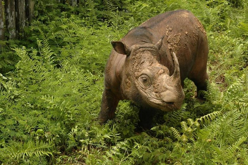 Tam (above) and female rhino Iman are the only two Sumatran rhinos in captivity in Malaysia.