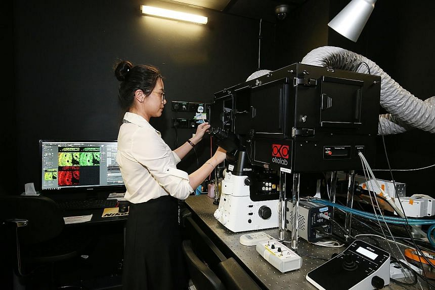 Lab executive Peng Qiwen yesterday operating a microscope at the National University of Singapore's Mechanobiology Institute.