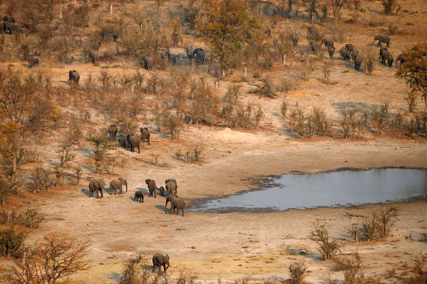 A herd of elephants leaves a drinking spot in the Mababe area, Botswana.