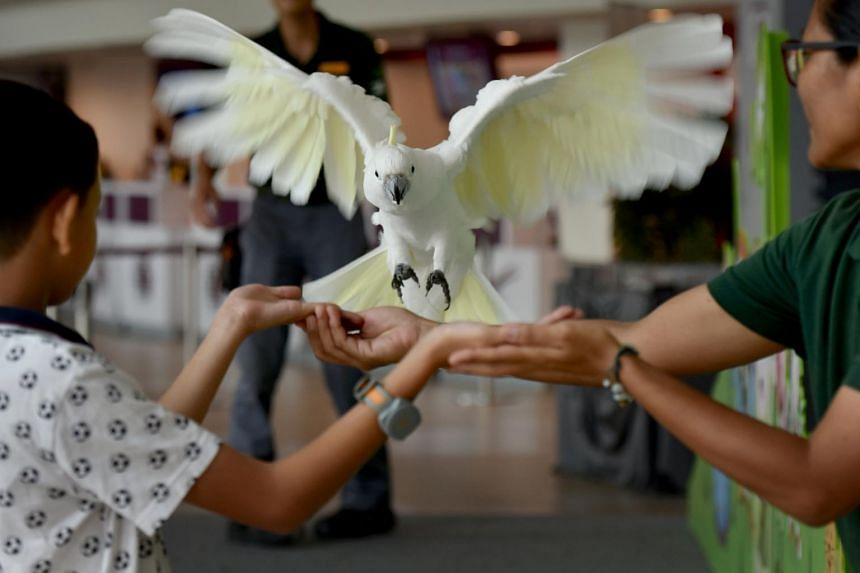 Shashi, a 25-year-old greater sulfur-crested female cockatoo, flies to Micah Broom's arm (left), from Leslie Gorrie, supervisor with Animal And Bird Encounters Sentosa, 30 (man in the background), during an Animal Encounters at Sentosa.