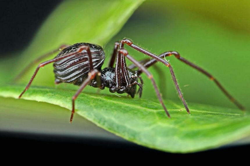 The new species discovered included a six-eyed spider with shiny, hardened and dark-coloured plates over the front part of its body. It has been named after the reserve - Paculla bukittimahensis.