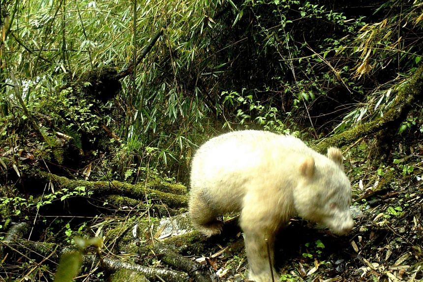A rare all-white panda was caught on camera at a nature reserve in south-west China, proving that albinism exists among wild pandas in the region. PHOTO: AGENCE FRANCE-PRESSE