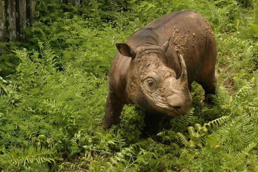 Malaysia Has Just One Sumatran Rhino Left