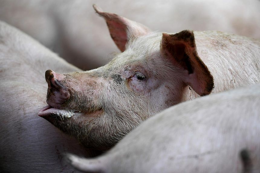 A further 500,000 pigs have been culled by Vietnam over the past two weeks due to an oubreak of African swine fever.