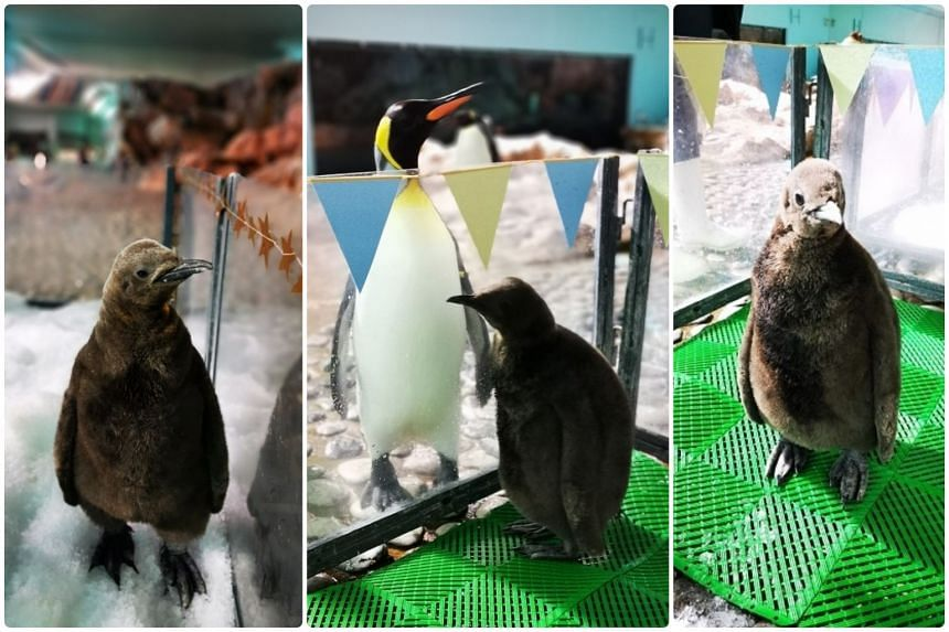 (From left) Named Percy, Brix and Arlo, the chicks weighed over 200g at birth and now weigh between 7kg and 10kg. They are fed thrice a day with herring and capelin.