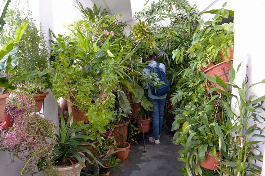 Rows of leafy plants are crammed pot to pot in the common space in front of the eighth-floor unit at Block 101 Pasir Ris Street 6.