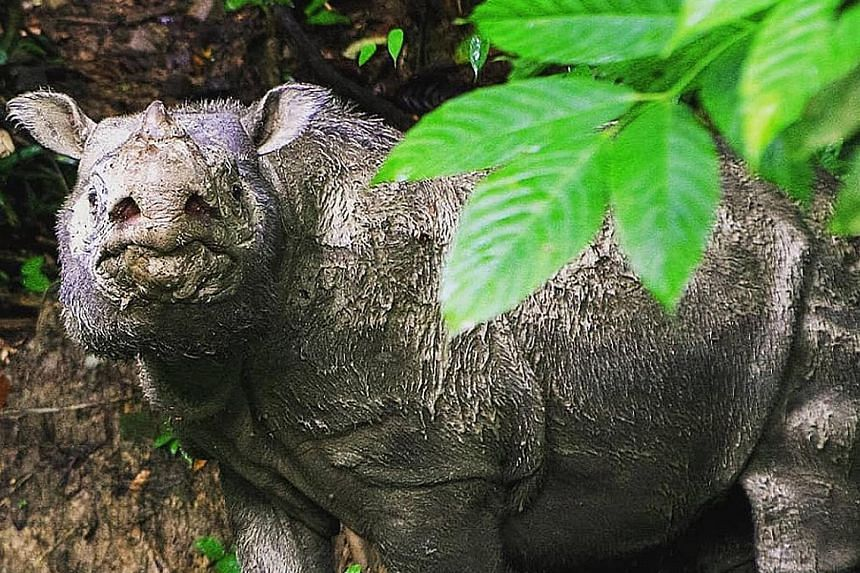 Tam's living genome has been preserved in the hope of reviving the species later. The Sumatran rhino is a critically endangered species as a result of poaching and illegal encroachment into its habitats. PHOTO: WWF-MALAYSIA/FACEBOOK