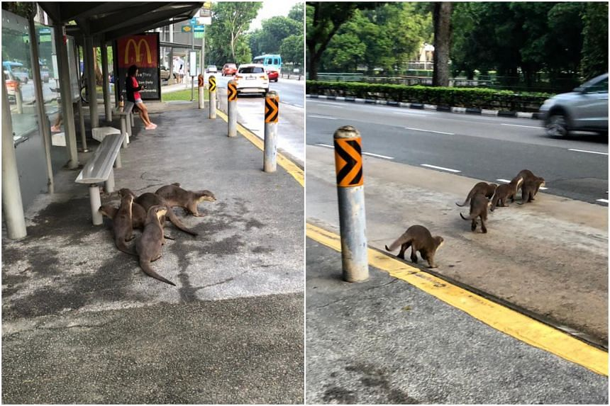 A group of six otters were spotted in the Bukit Timah area on May 30, 2019.