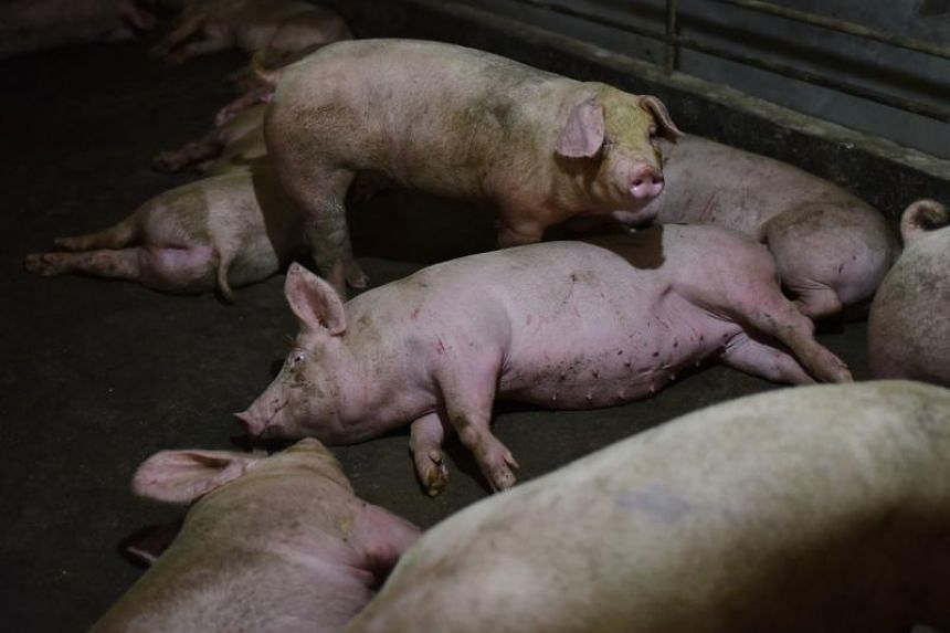 With a deadly virus ravaging the hog population in pork-addicted China and Vietnam, there's a major opportunity for Indonesian pig farms to expand shipments to those nations.