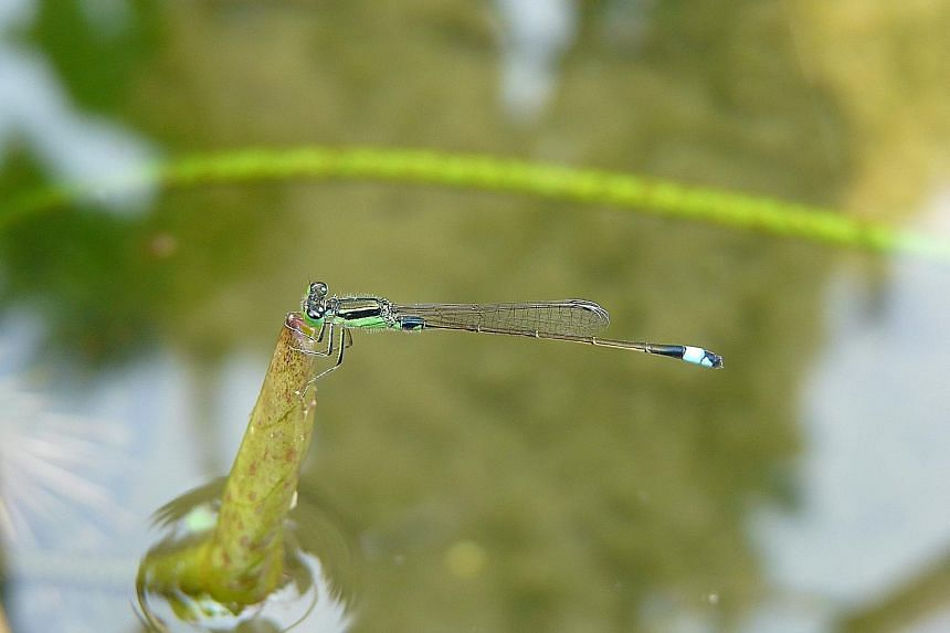 (Clockwise from top left): The Common Bluetail, the Common Parasol and the male Common Scarlet are among the 124 species of dragonflies and damselflies found in Singapore. Visitors at Neram Streams - a habitat for dragonflies and damselflies at the J